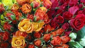 Las rosas ecuatorianas, listas para halagar a los enamorados del mundo